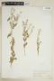 Rorippa palustris subsp. hispida (Desv.) Jonsell, U.S.A., O. B. Metcalfe 1046, F