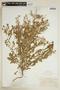 Rorippa palustris (L.) Besser subsp. palustris, U.S.A., J. W. Blankinship 61, F