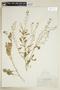 Rorippa palustris (L.) Besser subsp. palustris, U.S.A., E. P. Walker 985, F