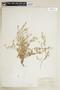 Rorippa alpina (S. Watson) Rydb., U.S.A., P. A. Rydberg 4148, F