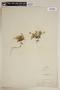 Rorippa alpina (S. Watson) Rydb., U.S.A., A. Nelson 295, F