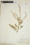 Rorippa amphibia (L.) Besser, U.S.A., C. F. Parker, F