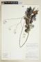 Rorippa aquatica (Eaton) Palmer & Steyerm., U.S.A., R. Kral 50148, F