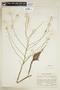 Rorippa aquatica (Eaton) Palmer & Steyerm., U.S.A., J. A. Steyermark 26712, F