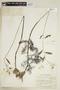 Rorippa aquatica (Eaton) Palmer & Steyerm., U.S.A., J. A. Steyermark 26821, F