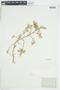Rorippa curvisiliqua (Hook.) Bessey ex Britton, U.S.A., V. K. Chesnut, F