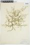 Rorippa curvisiliqua (Hook.) Bessey ex Britton, U.S.A., J. H. Sandberg 340, F