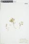 Rorippa curvisiliqua (Hook.) Bessey ex Britton, U.S.A., P. A. Rydberg 4161, F