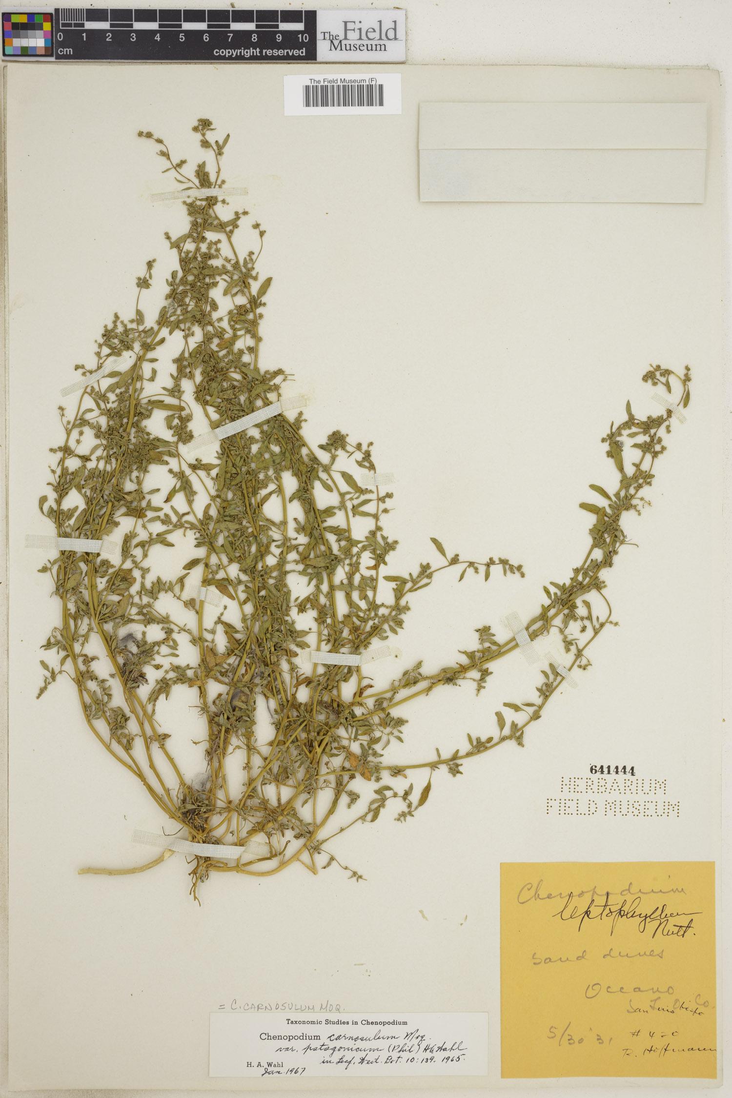 Chenopodium carnosulum image