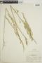 Chenopodium leptophyllum image
