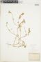 Chenopodium vulvaria image