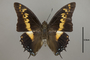 125007 Charaxes castor d IN