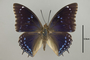 125013 Charaxes mixtus d IN