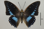125016 Charaxes imperialis d IN