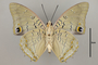 125016 Charaxes imperialis v IN