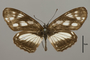 124432 Phyciodes sp d IN