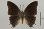 125020 Charaxes cedreatis d IN