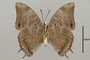 125021 Charaxes ethalion ssp v IN