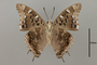 125039 Charaxes guderiana v IN