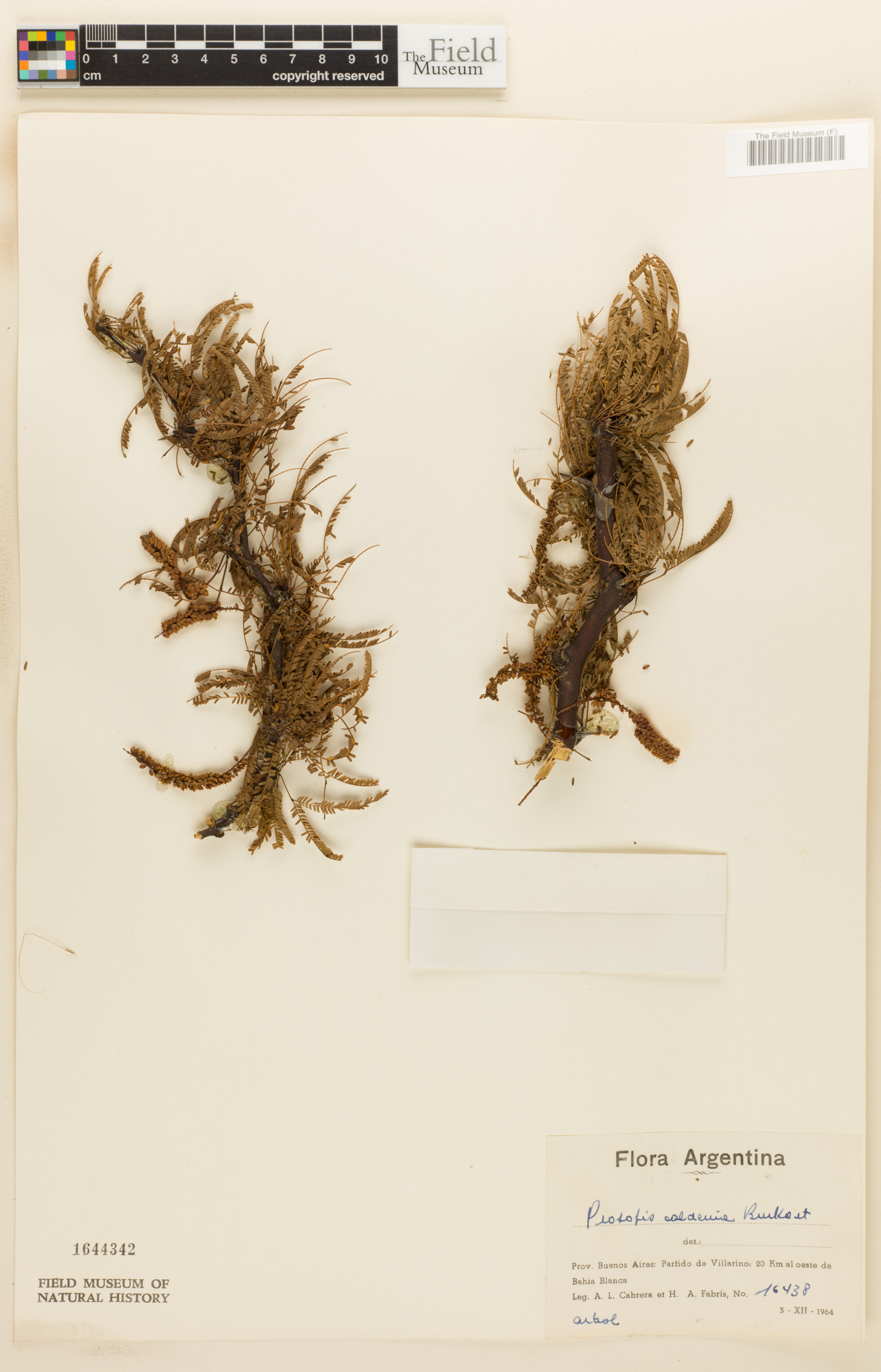 Prosopis caldenia image