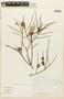 Prosopis sericantha image