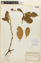 Garcinia guacopary (S. Moore) M. Nee, PARAGUAY, F