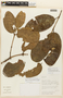 Garcinia guacopary (S. Moore) M. Nee, BOLIVIA, F