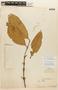Garcinia guacopary (S. Moore) M. Nee, PERU, F