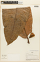 Garcinia magnifolia (Pittier) Hammel, COLOMBIA, F