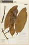 Garcinia macrophylla Mart., BRAZIL, F