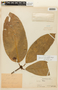 Garcinia macrophylla Mart., PERU, F