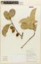 Garcinia macrophylla Mart., BOLIVIA, F