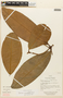 Garcinia macrophylla Mart., ECUADOR, F