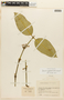 Garcinia madruno (Kunth) Hammel, COLOMBIA, F