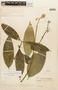 Garcinia madruno (Kunth) Hammel, VENEZUELA, F