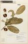 Garcinia madruno (Kunth) Hammel, FRENCH GUIANA, F