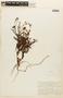 Hypericum thesiifolium image