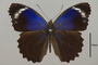 124481 Eunica caelina augusta d IN
