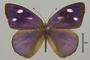 124504 Antigonis pharsalia felderi d IN