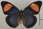 124539 Batesia hypochlora hypoxantha d IN