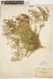 Rorippa curvisiliqua (Hook.) Bessey ex Britton, U.S.A., C. G. Pringle, F