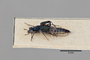 2819851 Dianous viridipennis ST p IN