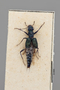 2819851 Dianous viridipennis ST d IN