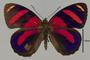 124608 Callicore astarte codomannus d IN