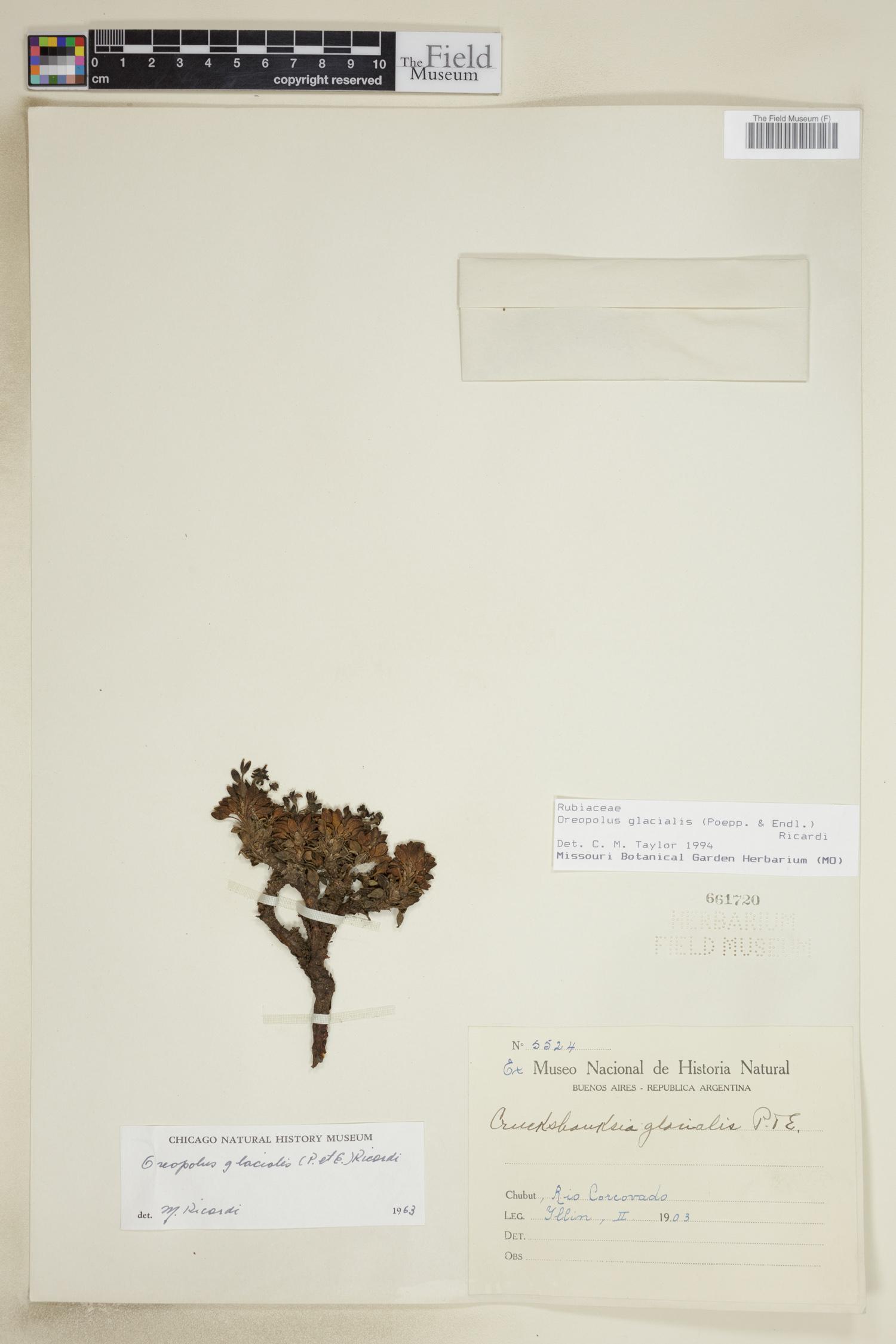 Oreopolus glacialis image