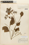 Macrocnemum humboldtianum Wedd., ECUADOR, F