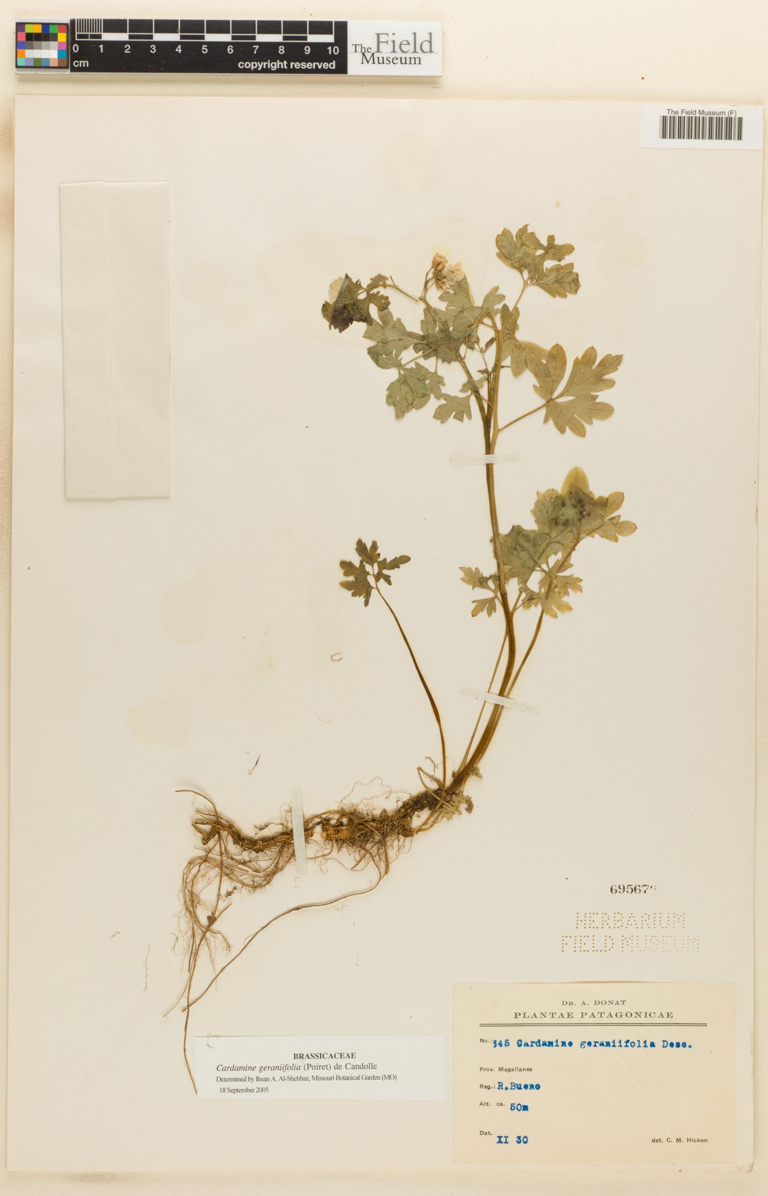 Cardamine geraniifolia image