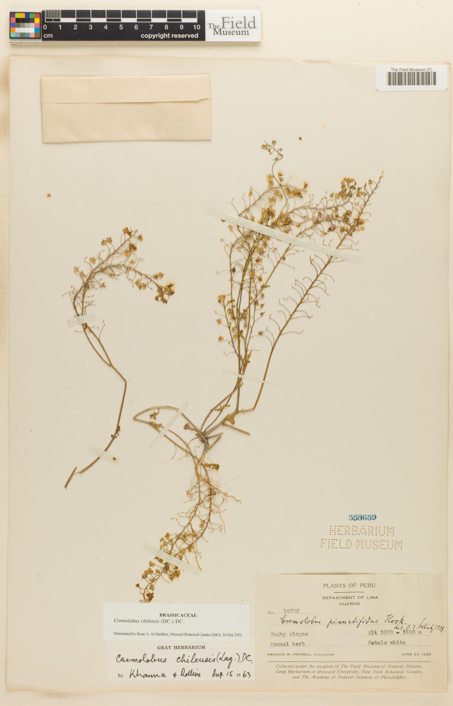 Cremolobus chilensis image