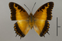 125132 Charaxes pollux geminus d IN