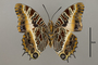 125132 Charaxes pollux geminus v IN